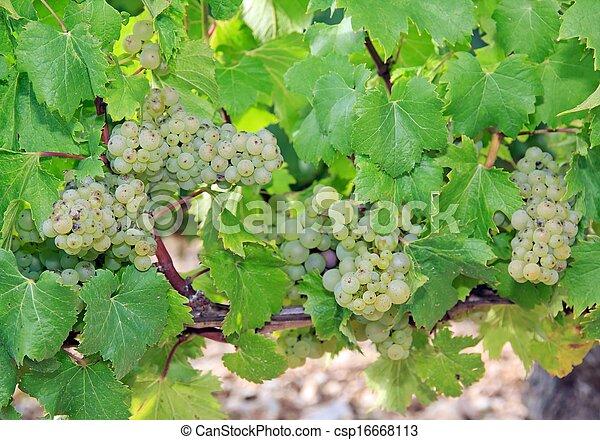 Grape, vineyard - csp16668113
