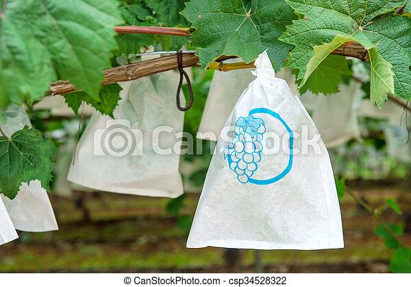 Grape Vineyard - csp34528322