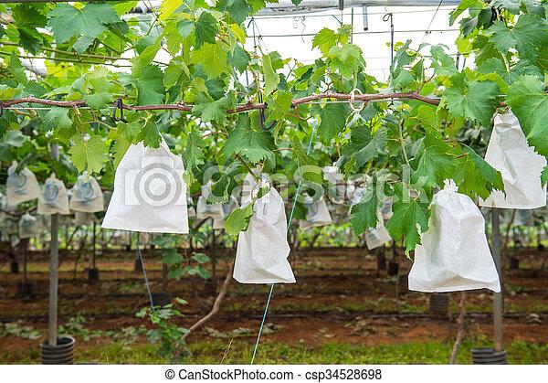 Grape Vineyard - csp34528698