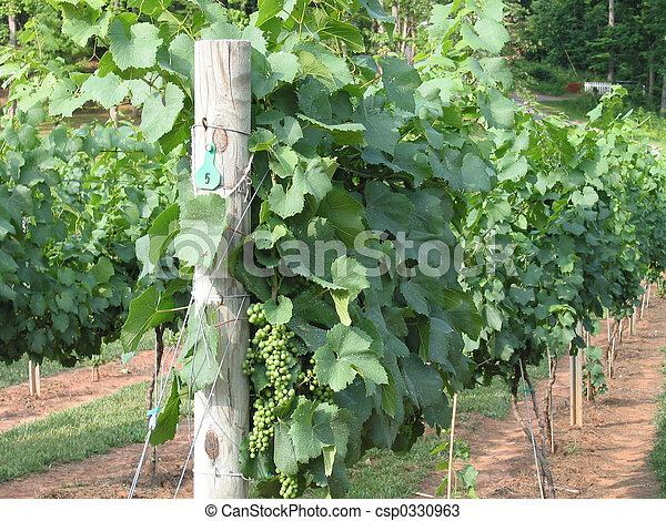 grape vineyard - csp0330963