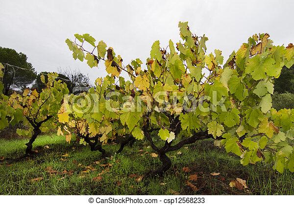 grape vineyard - csp12568233