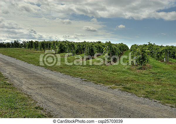 Grape Vineyard - csp25703039