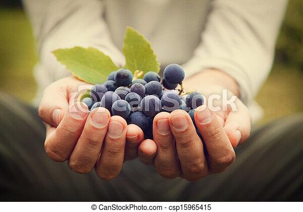 Grapes harvest - csp15965415