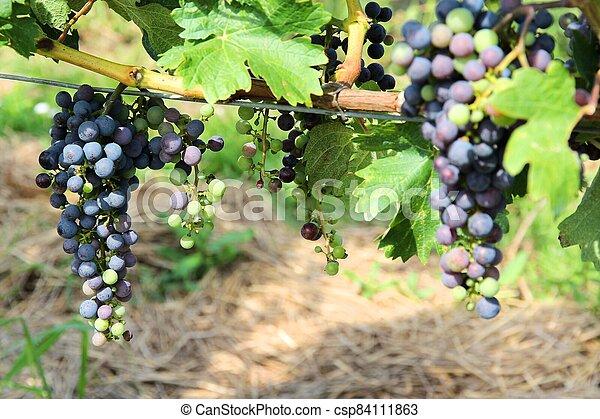 Grapes in Austria - csp84111863
