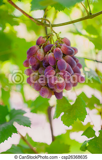grapes on a background of green leaves - csp26368635
