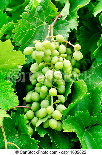 grapes on green leaves background - csp11602822