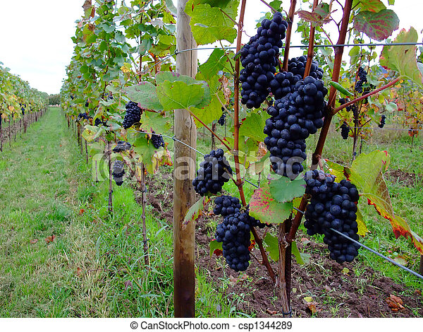 grapes Pinot noir in Alsace - csp1344289