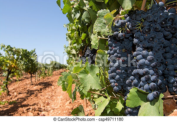 Grapes ripening on stock - csp49711180