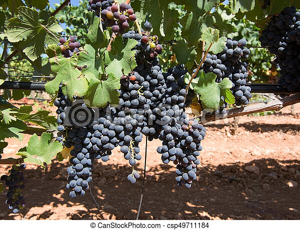 Grapes ripening on stock - csp49711184