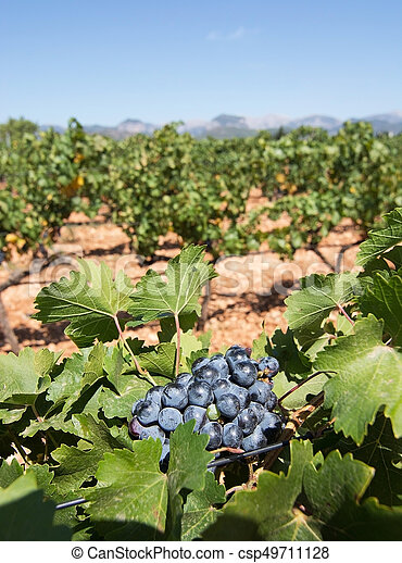 Grapes ripening on stock - csp49711128