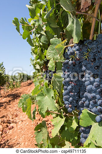 Grapes ripening on stock - csp49711135