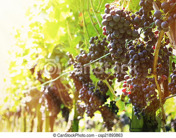 Grapes - csp21893863