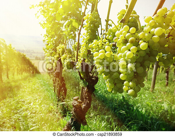 Grapes - csp21893859