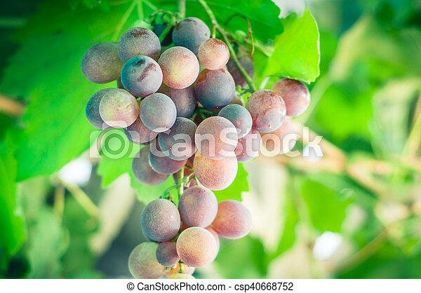 grapes - csp40668752