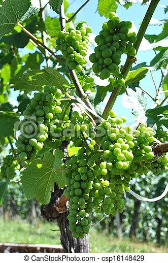 Grapes - csp16148429