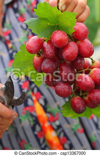 Grapes - csp13367000