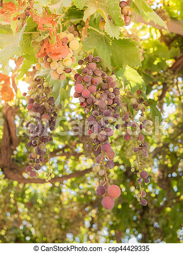 grapes - csp44429335