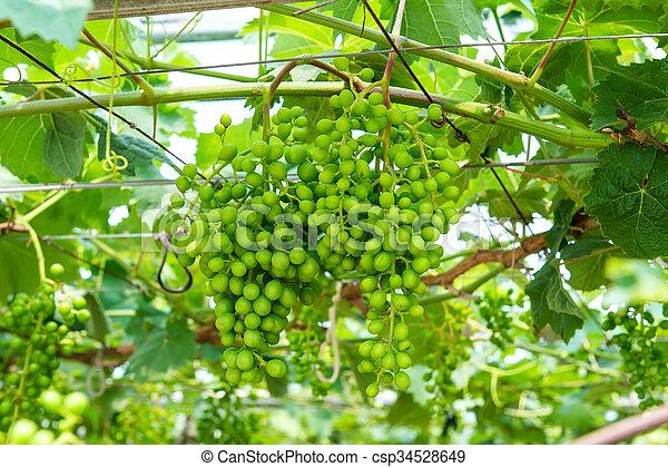 uvas verdes jóvenes. - csp34528649