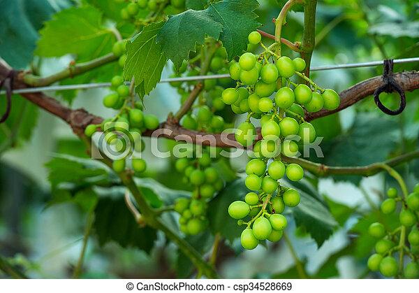 uvas verdes jóvenes. - csp34528669