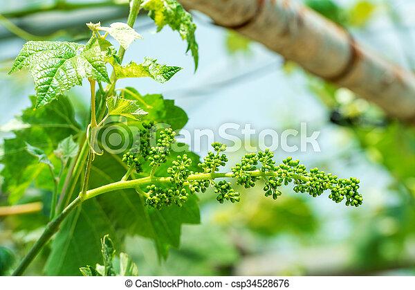 uvas verdes jóvenes. - csp34528676