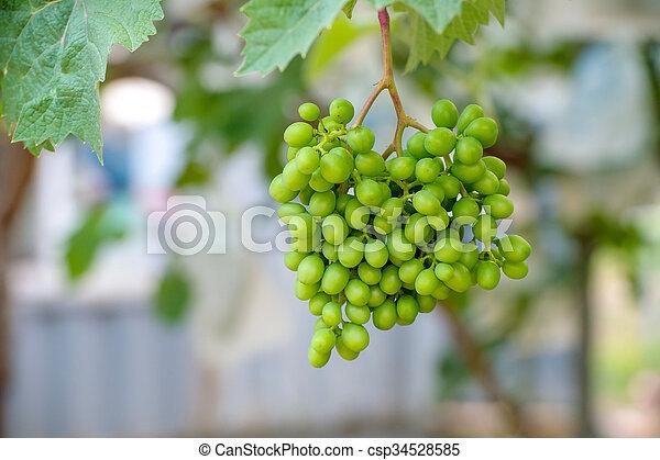 uvas verdes jóvenes. - csp34528585