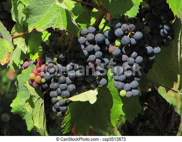 Grapes, vine, vineyard - csp3513873