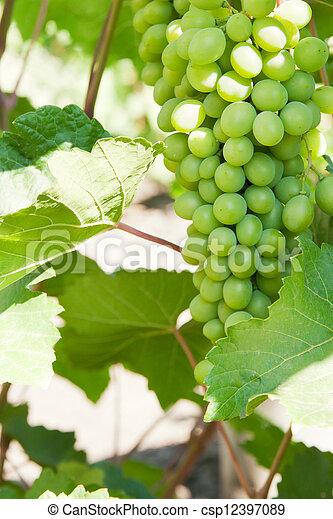 grapevine - csp12397089