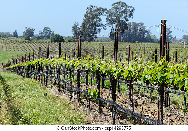 Grapevines in a Row - csp14295775
