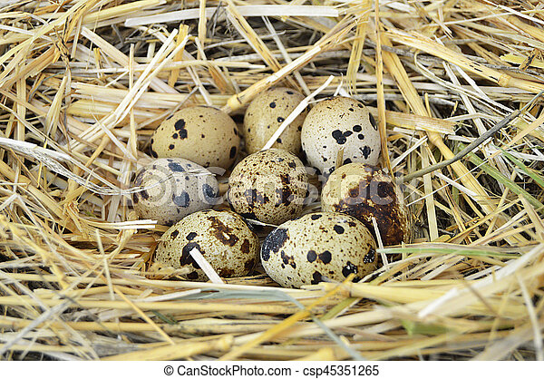 Grass and plants in quail eggs, bird's nest and eggs, pictures of eggs in quail's nest, chicken and quail's eggs, eggs in the most beautiful bird's nest - csp45351265