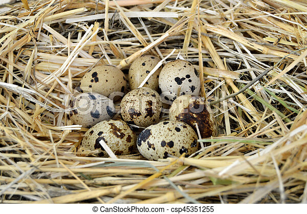 Grass and plants in quail eggs, bird's nest and eggs, pictures of eggs in quail's nest, chicken and quail's eggs, eggs in the most beautiful bird's nest - csp45351255