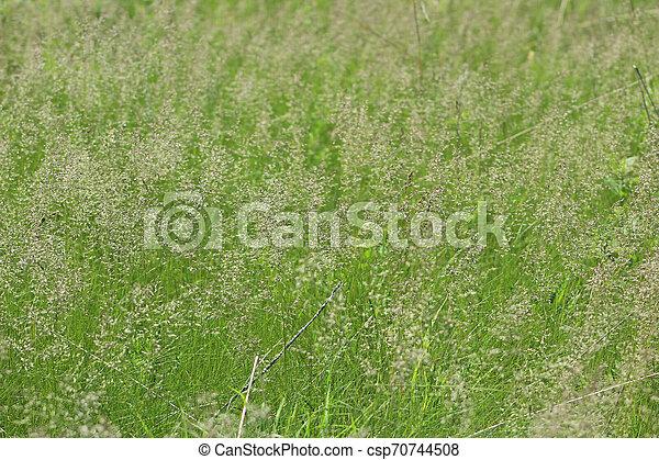 Grass heads waving in the wind - csp70744508