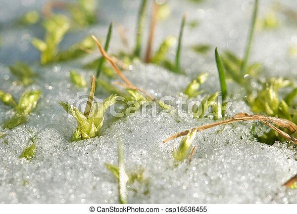 grass in snow - csp16536455