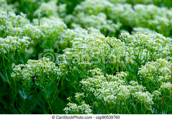 Grass or wild plants on a meadow in nature - csp90539760