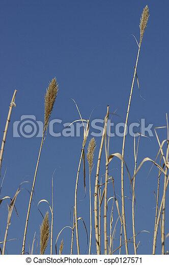 Grass Reeds - csp0127571