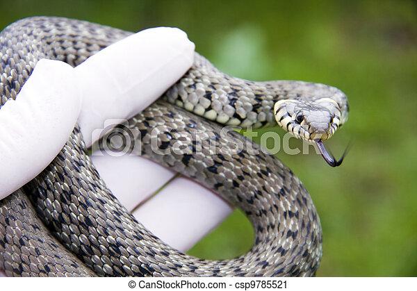 Grass snake - csp9785521