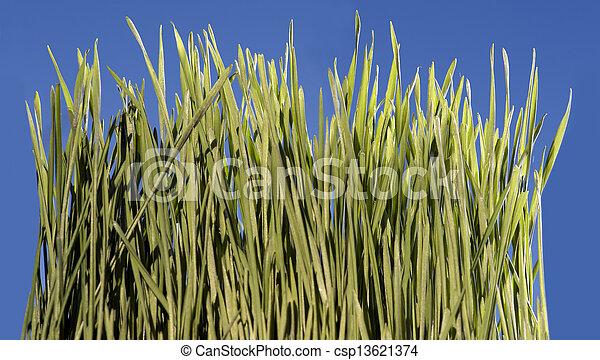 Grass with blue sky - csp13621374