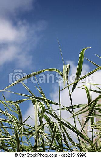 Grasses - csp21519990