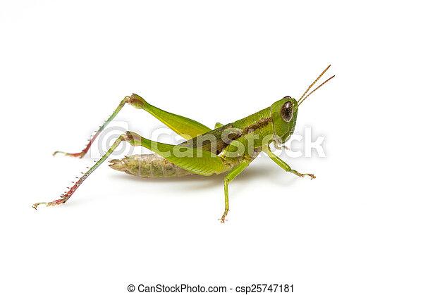 Grasshopper - csp25747181