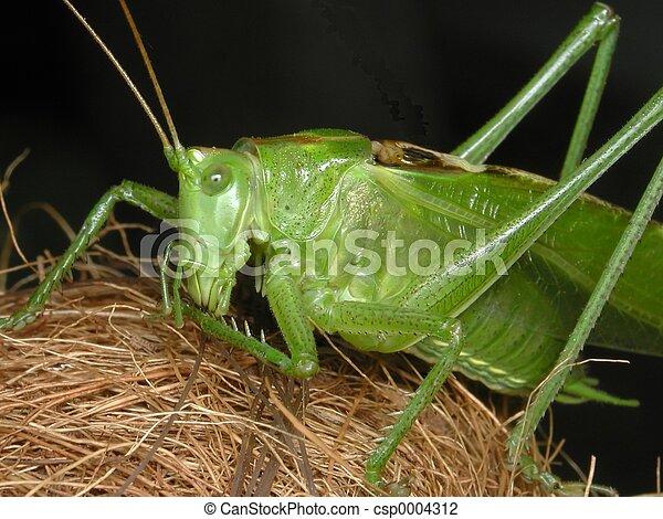 Grasshopper - csp0004312