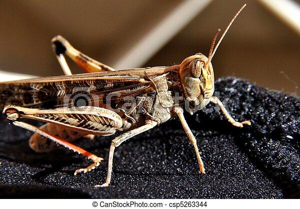 Grasshopper - csp5263344