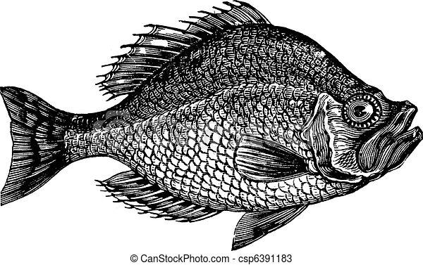 gravura, centrarchus, baixo, aeneus, vindima, peixe, rocha, ou - csp6391183