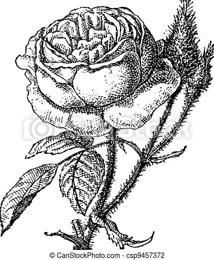 gravura, rosa musgo, grandiflora, portulaca, vindima, ou - csp9457372