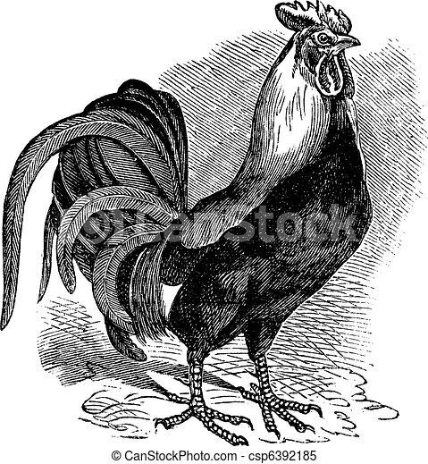 gravure, ouderwetse , cockerel, haan, gallus, haan, of - csp6392185