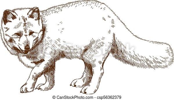 gravure, renard arctique, dessin, illustration - csp56362379