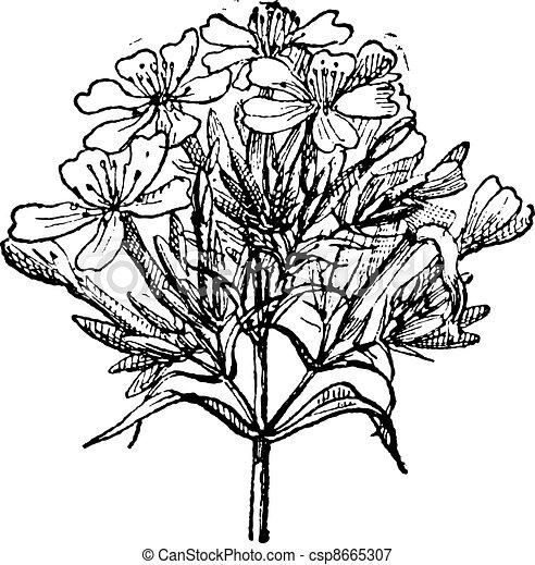 gravure, saponaria, vendange, commun, officinalis, ou, soapwort - csp8665307