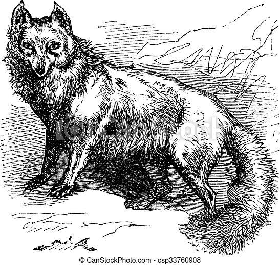 gravure, vendange, renard arctique, lagopus, vulpes, ou - csp33760908