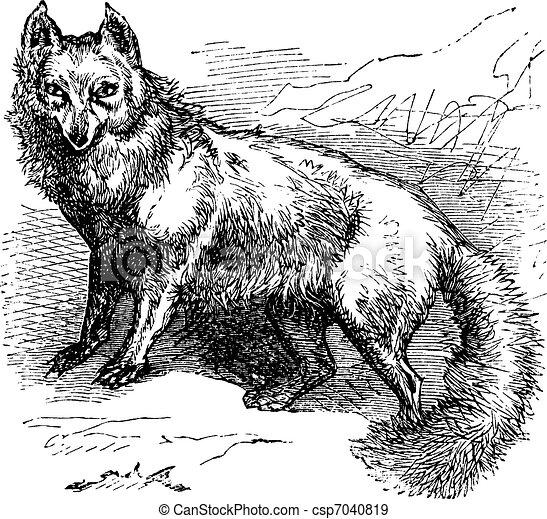 gravure, vendange, renard arctique, lagopus, vulpes, ou - csp7040819