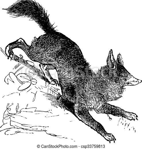 gravure, vendange, renard, vulpes, ou, rouges - csp33759813