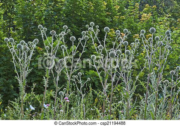 Gray flowers Echinops sphaerocephalus . - csp21194488