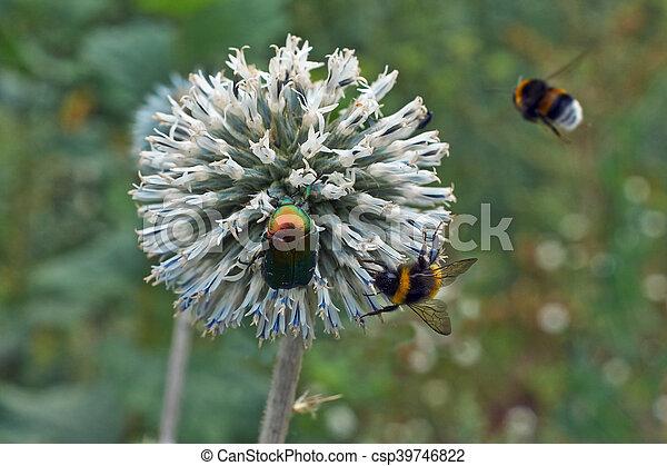 Gray flowers Echinops sphaerocephalus. - csp39746822